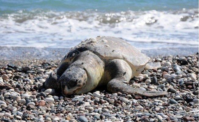 Mersin'de Ölü Caretta Caretta Sahile Vurdu
