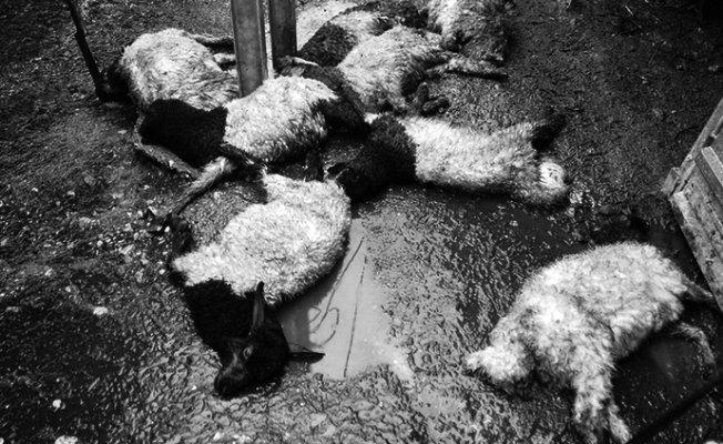 Elektrik Akımına Kapılan 8 Kuzu Telef Oldu