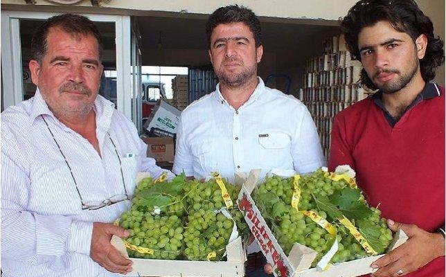 Mersin'de Üzüm Hasadı