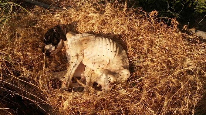 Terk Edilen Köpek Açlıktan Ölmekten Kurtarıldı