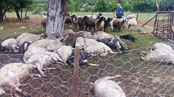 Ağaca Düşen Yıldırım 32 Koyunu Telef Etti