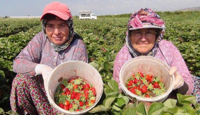 Mersin'de Çilek Üreticileri Sezonu Mutlu Kapattı