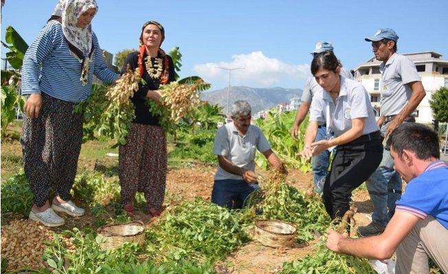 Bozyazı'da Yol Kenarlarına Ekilen Yer Fıstıkları Hasat Edildi