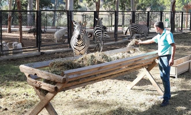 Hayvan Parkının Yeni Gözdeleri Zebralar Oldu