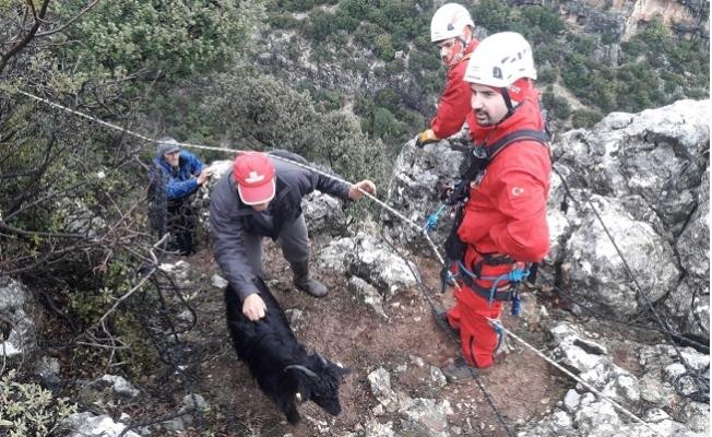 Dağ Yamacında 12 Gündür Mahsur Kalan Keçileri AKUT Kurtardı