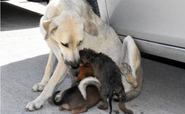 Yavru Köpek Boruya Düştü, Annesi Kurtarılmasını Bekledi