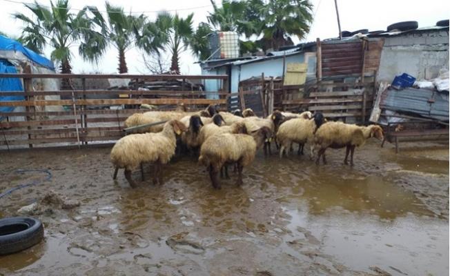 Mersin'de 40 Adet Küçükbaş Hayvan Çalındı