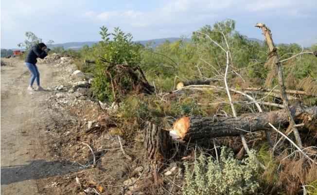Bir Gecede Bin 511 Ağacı kesen Serbest Bırakıldı.