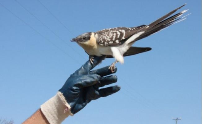 Erdemli'de Yaralı Guguk Kuşu Koruma Altına Alındı
