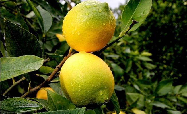 Talep Arttı, Limon Dalında 4 Liraya Yükseldi