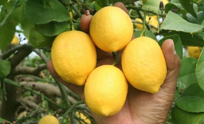 Koronavirüs Limona Talebi Artırdı; Dalında Kilosu 5 Liraya Çıktı