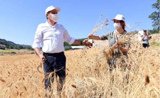 Seçer, Ata Tohumu Sarı Buğdayının İlk Hasadını Gerçekleştirdi.