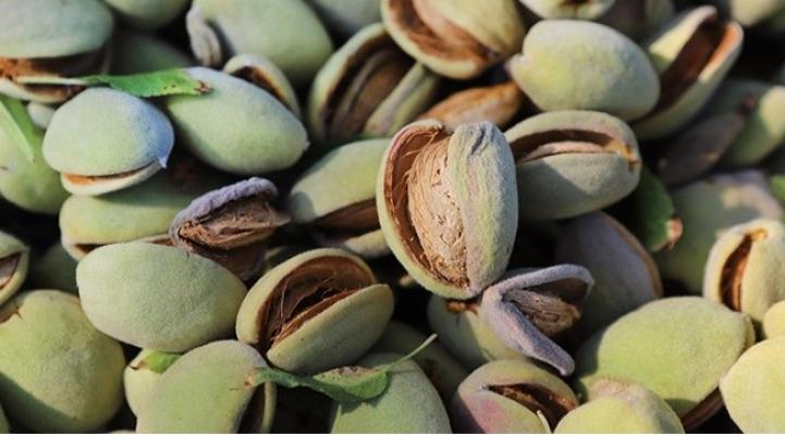 Mersin'de Badem Üretimi Yaygınlaştı