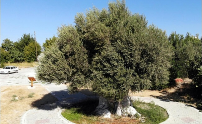 1300 Yıllık Zeytin Ağacının Ürünleri, Cumhurbaşkanı Erdoğan'a Hediye Edilecek
