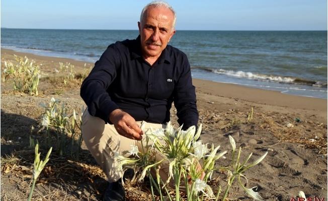 Akdeniz'de Kum Zambakları Koruma Altında
