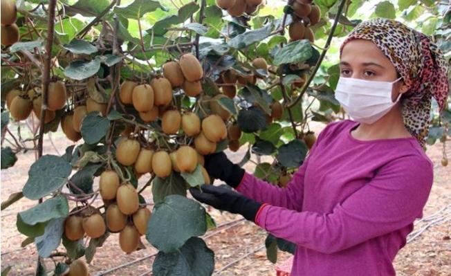 Erdemli'de Kivi, Üreticisinin Yüzünü Güldürüyor