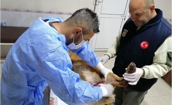 Belediye Veterinerinin Tedavi Ettiği Yaralı Köpek Sağlığına Kavuştu