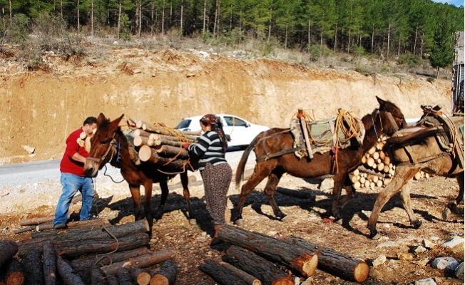 Kışın Çam, Yazın Ladin Ağaçlarının İzini Sürüyorlar, Günde 500 ile 750 TL Kazanıyorlar