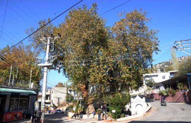 Mahalleli, 340 Yaşındaki Anıt Çınara Gözü Gibi Bakıyor