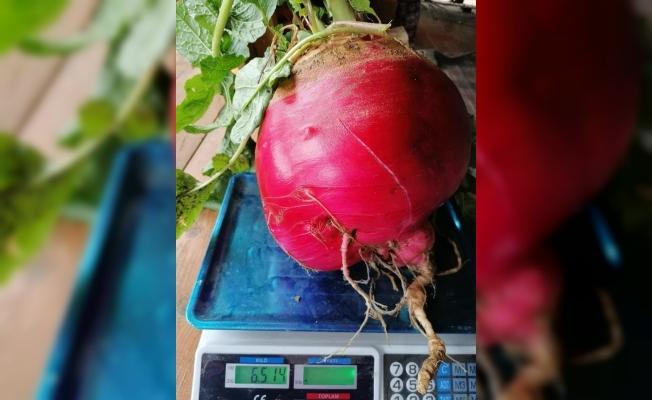 1 Kiloluk Portakaldan Sonra Gibi 6,5 Kiloluk Turp Şaşırttı
