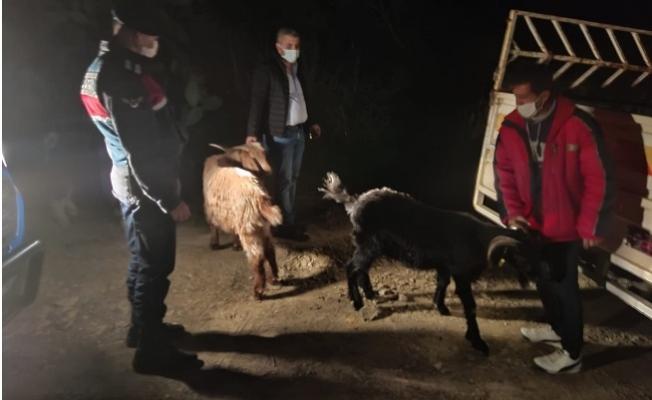 Kayıp Keçiler, Ormanlık Alanda Bulundu