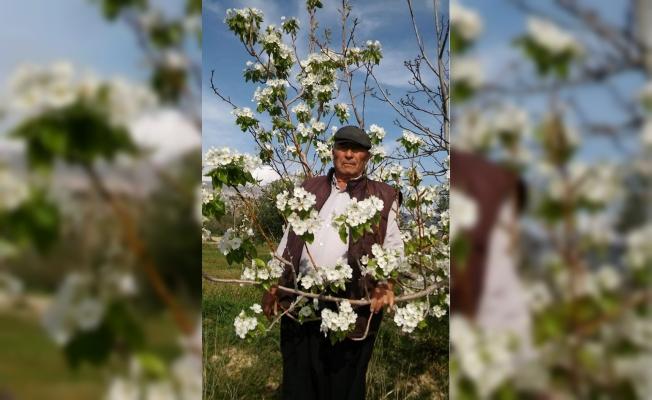 Mersin'de Kış Ortasında Armut Ağacı Çiçek Açtı
