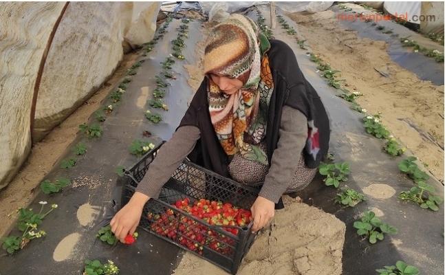 Mersin'de Çilek Hasadı Buruk Başladı