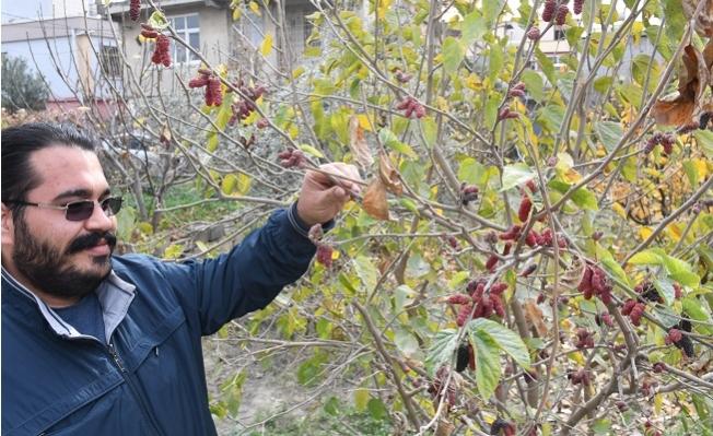 Mersin'de Dut Ağacı Ocak Ayında Meyve Verdi