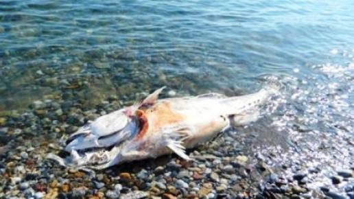 Bozyazı'da Ölü Orkinoslar Sahile Vurdu