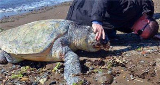 Deniz Kaplumbağalarına Köpek Tehdidi