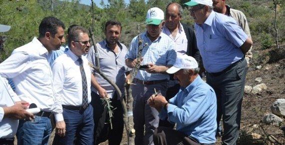 Erdemli'deki Yaban Zeytinleri Aşılandı