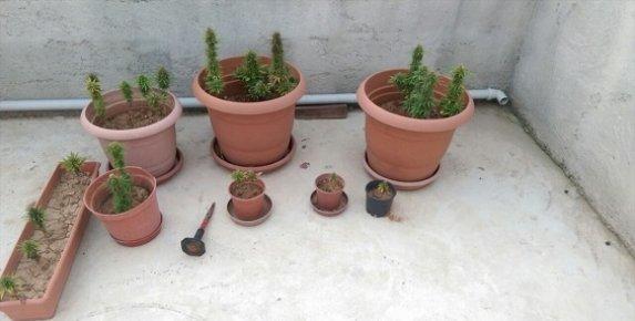 Evinde Saksı İçerisinde Çiçek Beslek Gibi Esrar Ekmişler