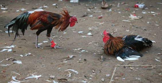 Hayvanları Koruma Derneğinde Horoz Dövüştürüldüğü İddiası
