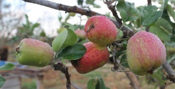 Kış Ortasında Yaz Elması