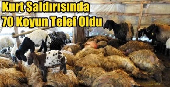 Kurt Saldırısında 70 Koyun Telef Oldu