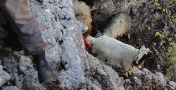 Kurtlardan Kaçan Keçiler Uçurumda Mahsur Kaldı