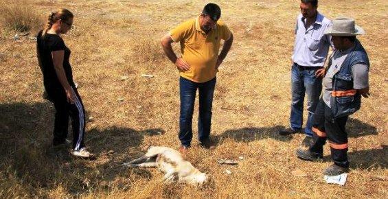 Mersin'de 23 Köpeğin Zehirlenerek İtlaf Edildiği Öne Sürüldü