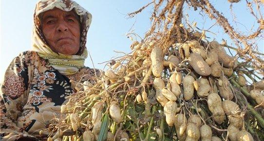 Mersin'de Alternatif Ürün Yer Fıstığı Sevindirdi