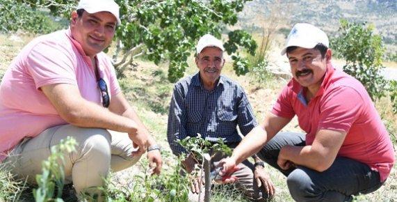 Mersin'de Antep Fıstığı Üretimi Yeniden Canlandırıldı