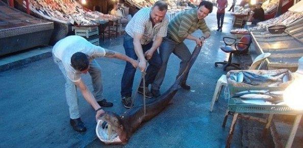 Mersin'de Balıkçıların Ağına 2,5 Metrelik Köpek Balığı Takıldı.