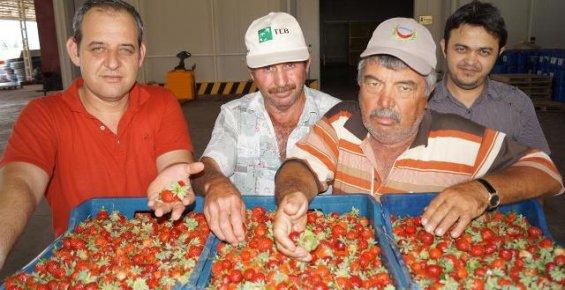 Mersin'de Çilek Üreticisi Sezonu Mutlu Bitirdi