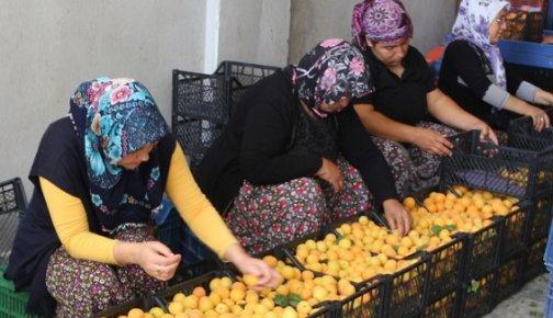 Mersin'de Kayısı Fiyatını Koruyor