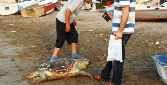 Mersin'de Sahile Ölü Caretta Caretta Kaplumbağası Vurdu.
