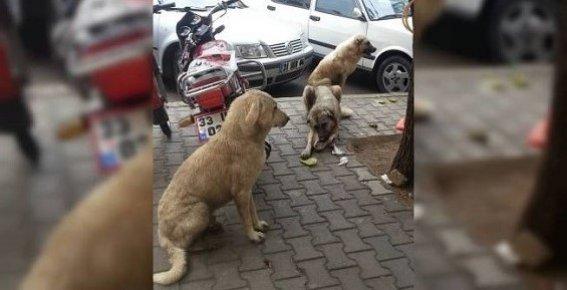 Mersin'de Sokak Köpeklerinden Vatandaş da Belediye de Dertli