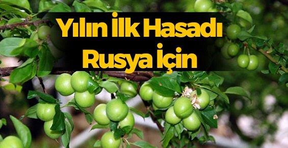 Mersin'de Yılın İlk Eriği Rusya İçin Hasat Edildi.