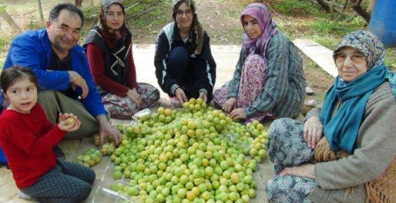 Mersin'de Yılın İlk Örtü Altı Kayısı Hasadı Yapıldı