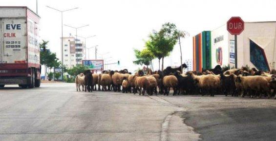 Şehir İçerisinde Hayvancılık Yapanlara Ceza Kesildi