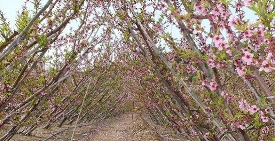 Silifke'de Ağaçlar Çiçek Açtı