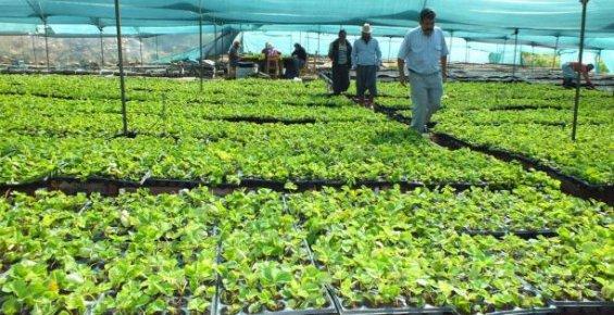 Silifke'de Çilek Fidesi Üretimi