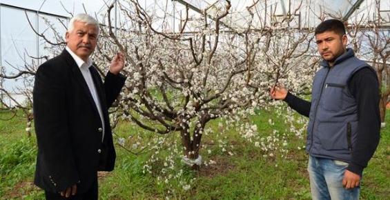 Silifke'de Erik Bahçeleri Beyaza Büründü